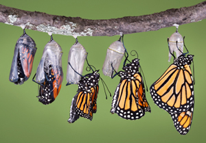 The Monarch Butterfly Emerging